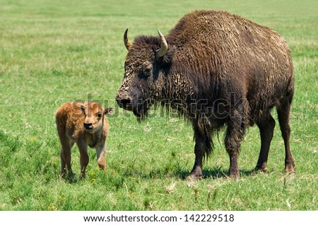 Buffalo cow and a calf on the meadow