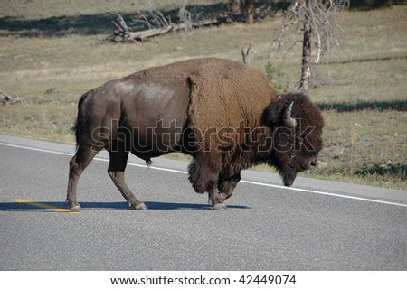 Buffalo Crossing Road in Yellowstone Park - stock photo
