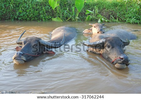Buffalo family in the water.