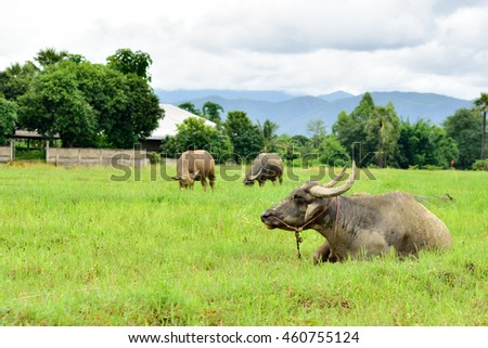 Buffalo family on green field in cloudy day.