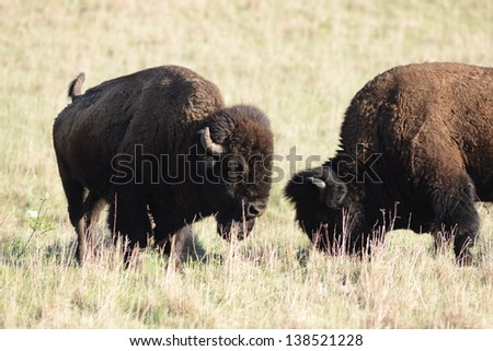 Buffalo Fighting. - stock photo