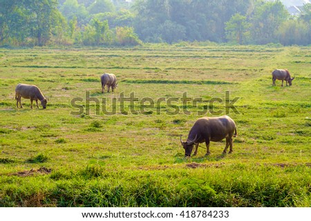 Buffalo graze in a field