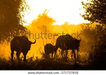 Buffalo herd at sunrise - stock photo
