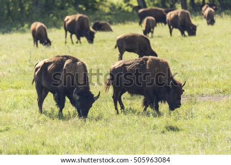 Buffalo Herd In Black Hills of South Dakota