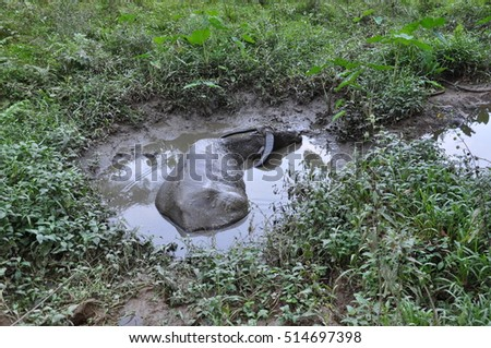 Buffalo in a puddle, Philippines