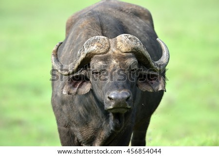 buffalo in african natural park - stock photo