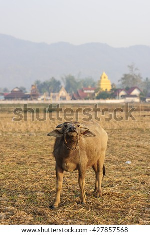 Buffalo  In Thailand.