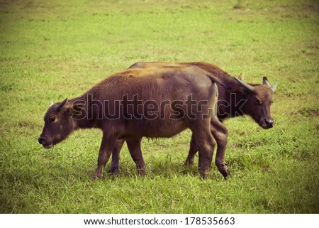 Buffalo in Thailand on the grasslands,vintage style light
