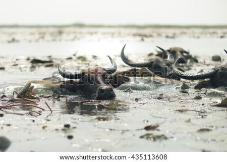 Buffalo in the lotus sea - stock photo