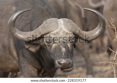 Buffalo in the way, standing on a dirt road