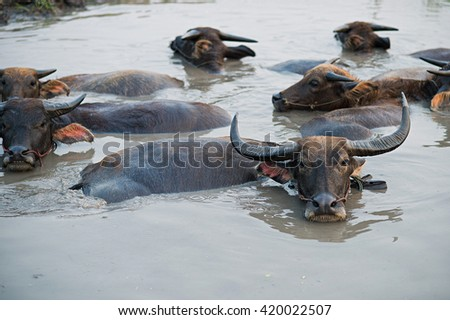 Buffalo in water.