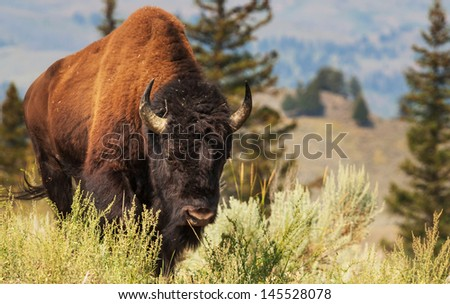 buffalo in Yellowstone - stock photo