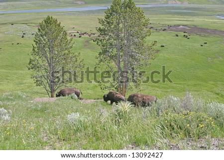 buffalo in yellowstone national park - stock photo