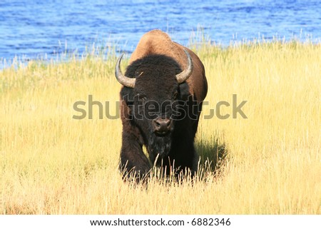 Buffalo lumbering toward photographer - stock photo