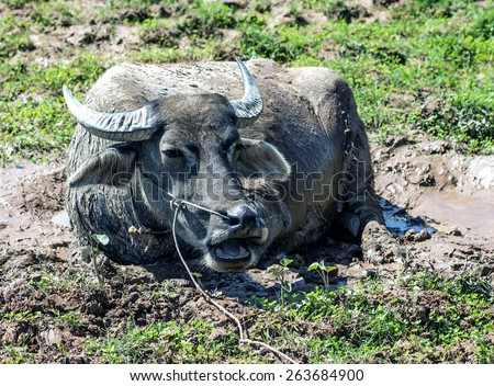 Buffalo lying in the mud. Asian buffalo lying in the mud on the island of Don Det by Mekong river in Laos. Cow is cooled in the mud. Asian cow lying about in the mud.
