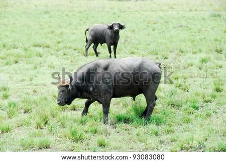 Buffalo, Murchison Falls National Park (Uganda) - stock photo