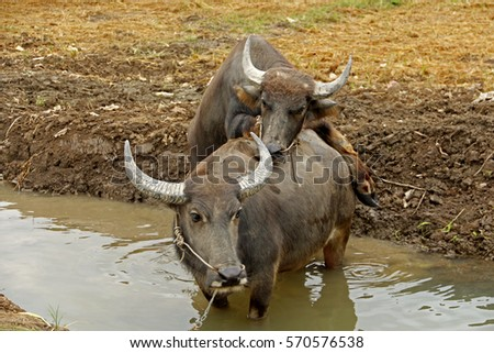 Water buffalo having sex