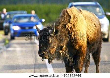 Buffalo on a Road in the Yellowstone National Park, Wyoming USA. Yellowstone Wildlife in Photography. - stock photo