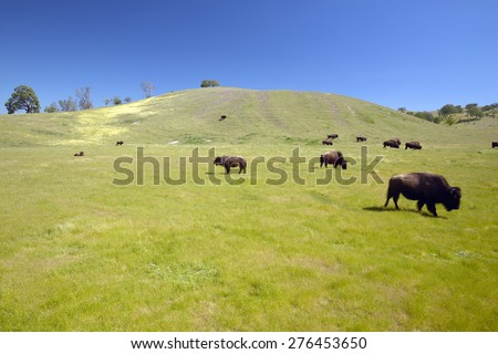Buffalo on the range off Route 58 west of Bakersfield, CA - stock photo