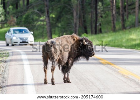 Buffalo on the road with a white car approaching - stock photo
