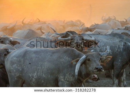Buffalo on the sunset background - stock photo