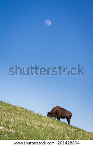 buffalo or Bison roaming in the grasslands of South Dakota - stock photo