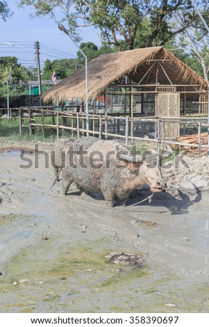 Buffalo played mud to relieve the heat in small pond
