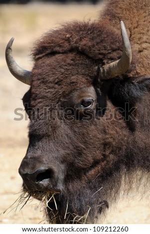 Buffalo portrait (Bison Bison) - stock photo