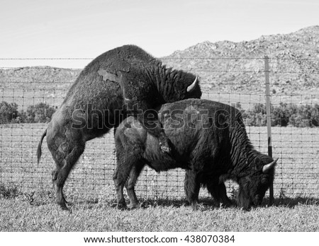 Buffalo's mating in the Oklahoma plains in springtime. - stock photo