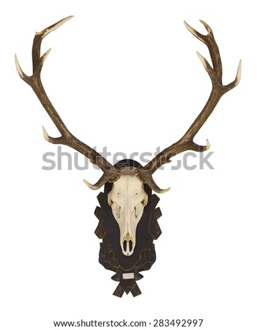 Buffalo skull and horn isolated white background.