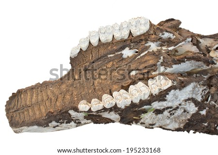 buffalo skull with horns on white - stock photo