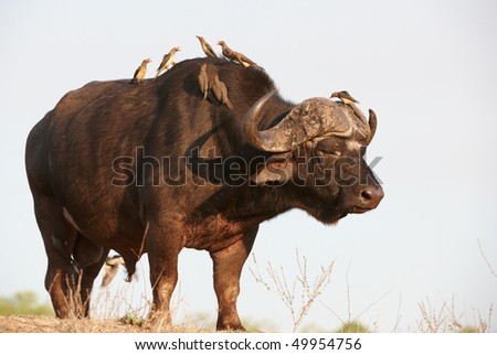 Buffalo (Syncerus caffer) close-up with Red-billed Oxpecker (Buphagus erythrorhynchus) in the wild in South Africa - stock photo