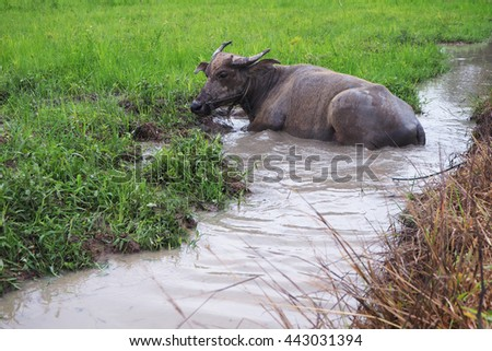 Buffalo. Thai Water Buffalo animal grazing in marshy swamp area in upcountry.