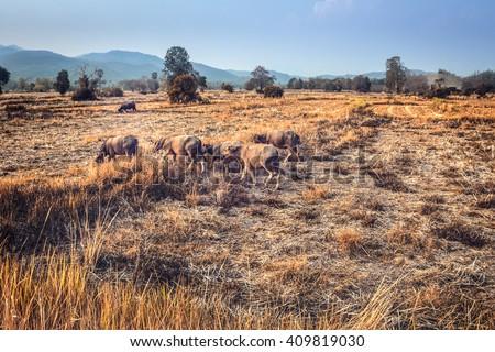 Buffalo thailand carabao or walk across the field to take home the