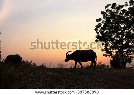 buffalo walking ,tree silhouette, moment of sunset abstract