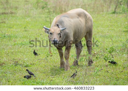 Buffalo with Common mynas on the ground