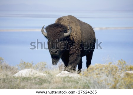 Buffalo with the Great Salt Lake behind - stock photo