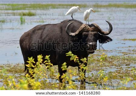 buffalo with two white egrets on the neck,Chobe,Botswana - stock photo