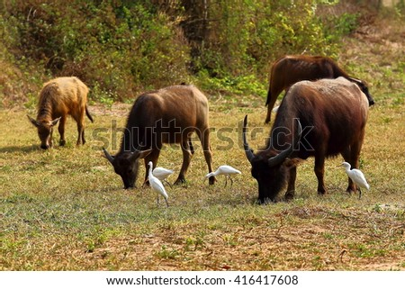 buffaloes and white birds in field