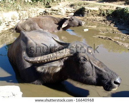 Buffalos relaxing in puddle - stock photo