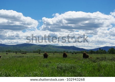Buffalos, Wyoming
