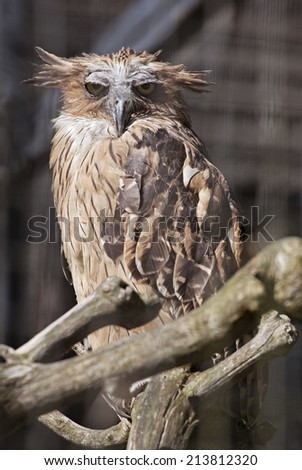 Buffy fish owl (Ketupa ketupu) in a zoo - stock photo