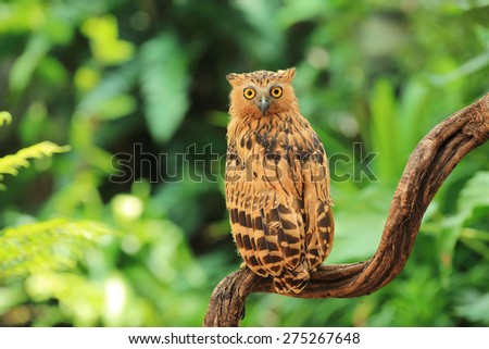 Buffy Fish Owl on green background