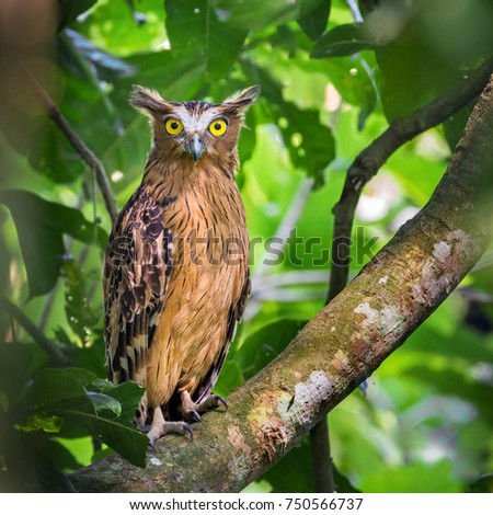 Buffy Fish Owl on green background. Nature Framing. Selective focus & noise visible due to high ISO.