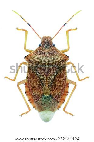 Bug Arma custos on a white background - stock photo