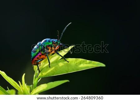 Bug (Chrysocoris stollii) in nature - stock photo