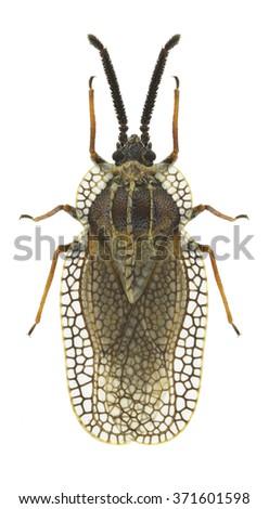 Bug Dictyonota strichnocera on a white background - stock photo