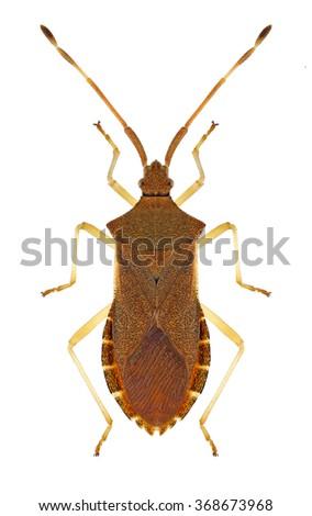 Bug Gonocerus acuteangulatus on a white background - stock photo