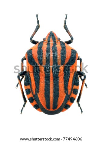 Bug Graphosoma lineatum on the white background