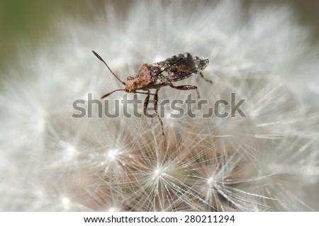 Bug in one dandelion - stock photo